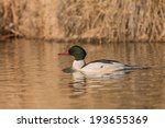 Small photo of American Merganser