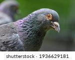 Portrait Of Rock Pigeon. Rock...