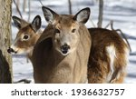 White Tail Deer In Winter...