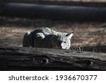 A Bobcat Crouched Behind A Log...