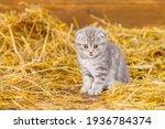 Scottish Kitten And Striped...