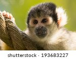 Squirrel Monkey Close Up On Rope