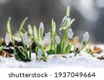 White Flowers Of Snowdrops Grow ...