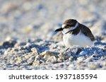 Tiny Plover In The Coastal Sand