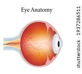 the human eye anatomy isolated... | Shutterstock .eps vector #1937286511