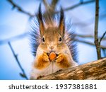 Red Squirrel Holding A Nut....