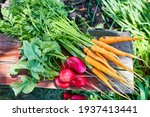 Natural  Unwashed  Radishes And ...
