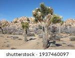 Joshua Tree  Yucca Brevifolia ...