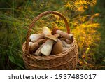 Edible Mushrooms Porcini In The ...