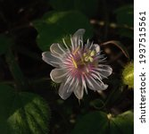Passiflora Foetida Blooms In...