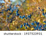 Blackthorn In Autumn. A Thorny...