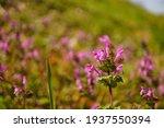 Henbit In Full Bloom  Spring...