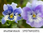 Close Up Of A Blue Pansy Flower ...