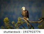 A Large Bald Eagle Is Perched...