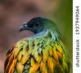 Small photo of The Nicobar pigeon (Caloenas nicobarica) is the closest living relative to the dodo. The spectacular ground-dwelling bird has long, extravagant plumes trailing down from the neck.