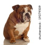red brindle english bulldog... | Shutterstock . vector #19379509