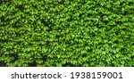 Green Shrub Hedge  Fresh Green...