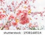 Beautiful Pink Sakura Flowers ...