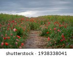 Path In Poppy Field With Cloudy ...