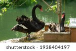 Two Black Swans With Beautiful...