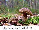 Porcini Cep White Mushroom King ...