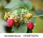Small photo of American red raspberry fruits - Rubus idaeus