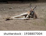 Tired Kangaroo Resting On The...