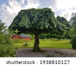 The 100 Year Old Elm In The...