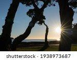 K Stems Of Pohutukawa Tree...