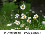 Leucanthemum Vulgare Meadows...