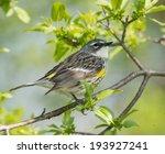Yellow Rumped Warbler ...
