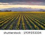 Daffodil Rows In The Skagit...