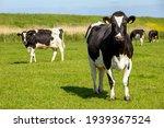 Black And White Holstein...