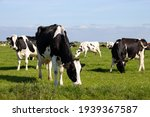 Small photo of Black and white Holstein Friesian cattle cows grazing on farmland.