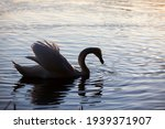 Closeup Lone White Swan ...