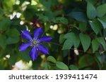 Purple Blue Clematis In Outdoor ...