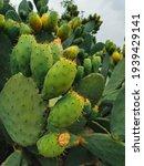 The Thorny Cactus Tree. Ripe...