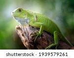 Beautiful Green Iguana With...
