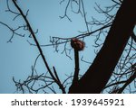 Red Squirrel Sits On A Tree...