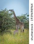 Masai Giraffe Browses Beside...