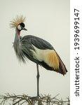 Grey Crowned Crane On Thornbush ...