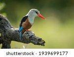 Grey Headed Kingfisher Looks...