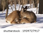 White Tail Deer Isolated In...