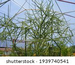 A Broken Bone Herbal Plant With ...