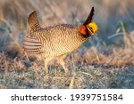 Lesser prairie chicken ...