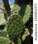 Pear Cactus. Tree Cactus Thorny ...