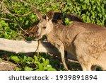 Portrait Of A Wild Kangaroo In...