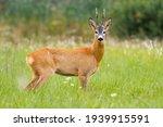 Roe Deer Standing On Green...
