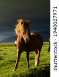 Traveling through Iceland, I managed to capture a beautiful Icelandic horse in this light. A low, bright sun was shining on one side, and thunderclouds were approaching on the other.