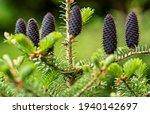 young spruce  abies species ... | Shutterstock . vector #1940142697